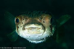 BD-110319-Puerto-Galera-4045-Diodon-holocanthus.-Linnaeus.-1758-[Longspined-porcupinefish.-Brunfläckig-igelkottfisk].jpg